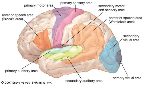Video Anatomy And Functional Areas Of The Brain Tbi Rehabilitation