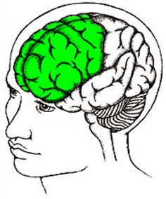 The frontal lobe (in green).